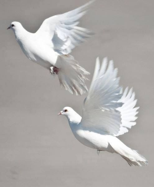 Flying White Doves Pictures Of Doves