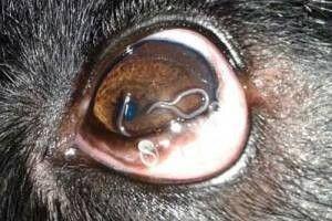 oeil infecté chien