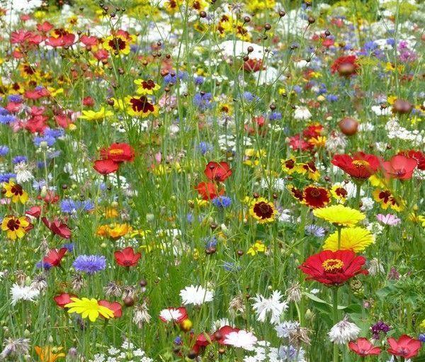 Fond ecran fleurs page 8 - Fleur de jachere ...