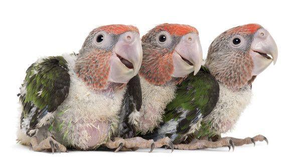 Les perroquets à cou brun