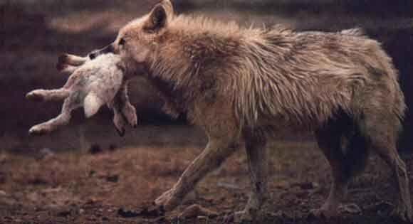 Le loup  loup qui chasse