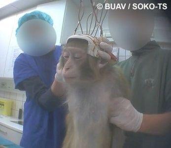 des macaques du zoo livrés à la trépanation