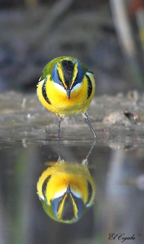 Oiseaux page 23 for Tu est le miroir de ma vie