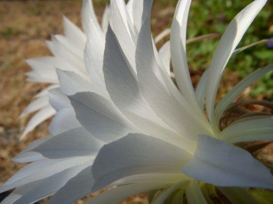 plante grasse fleur blanche